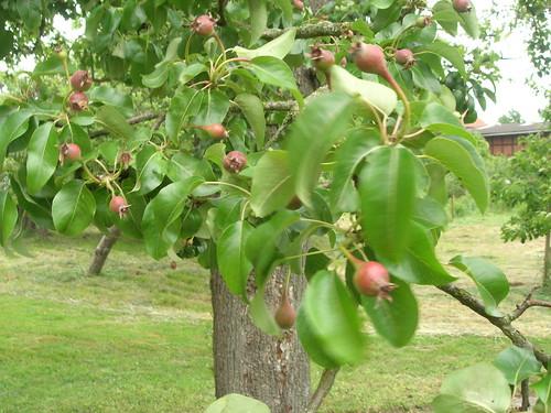 Birne Doppelwriet Rietbeere Fruchtansatz
