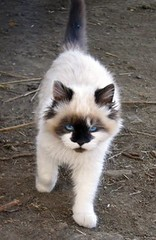 Itsy-Bitsy: cute, but angry-looking, kitten