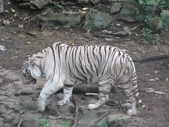Cincinnati Zoo- August 30th, 2006 (spera) Tags: whitetiger cincinnatizoo august30th2006