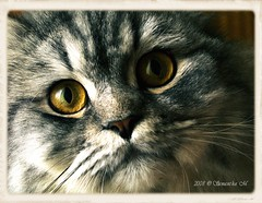 Tadino // Explore Jan. 5, 2008 (^Samantha M.'72) Tags: italy cats animals cat eyes italia details occhi dettagli gatto lombardia gatti animali pictureperfect dettaglio mywinners bestofcats