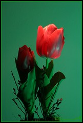 Fresh tulip. (D.Reichardt) Tags: red stilllife flower green stillleben d tulip fabulous blume picnik tulpe niedersachen reichardt mywinners germanylowersaxony impressedbeauty ysplix betterthangood excellentsflowers avision dreichardt