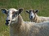 Ewe two (Mr Grimesdale) Tags: cattle sheep sony mrgrimsdale stevewallace dsch2 15challengeswinner mrgrimesdale grimesdale