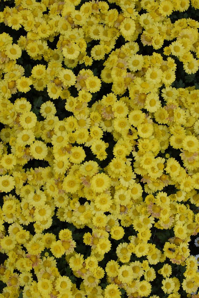 Tiny Chrysanthemum