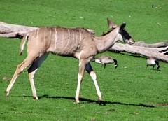 Greater Kudu (Just chaos) Tags: antelope bovidae bovinae animalia mammalia safariwest chordata artiodactyla tragelaphusstrepsiceros