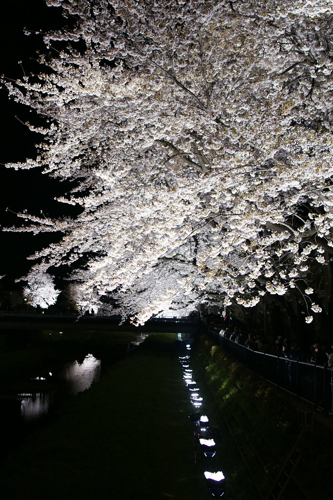 sakura light-up 2