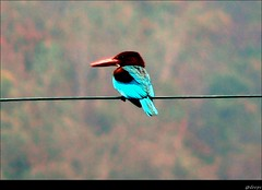 White Throated Kingfisher (Photo-Curry) Tags: bird fz20 kingfisher rishikesh dfc