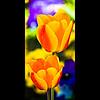 Verticals: Tulips (manganite) Tags: flowers blue red orange plants macro green nature colors yellow closeup digital germany garden campus geotagged botanical spring nikon colorful europe university bonn dof seasons purple tulips bokeh tl framed blossoms d200 nikkor dslr 50mmf18 botanischergarten naturesfinest northrhinewestphalia utatafeature manganite nikonstunninggallery repost1 date:year=2008 geo:lat=50724853 geo:lon=7091374 date:month=april date:day=20 format:orientation=portrait format:ratio=21 repost2