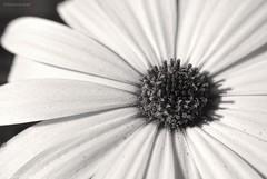 Colorless.... (Joe Hengel) Tags: socal southerncalifornia sanjuancapistrano flower daisy africandaisy petals bw blackandwhite monochrome theoc orangecounty oc outdoor goldenstate macro