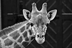 Giraffe (heiko.moser (+ 11.700.000 views )) Tags: giraffe tier tiere animal animale monochrom mono bw blackwihte blancoynegro zoo tierpark noiretblanc natur nb nero nature natura nahaufnahme canon closeup entdecken einfarbig discover outdoor sw schwarzweiss schwarzweis heikomoser