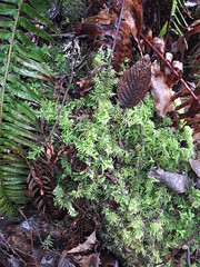 Wet ground cover in the winter, fern, dead leaves, fresh green, brown leaves, temperate rain forest, Pacific Northwest United States, Lakota Lhamo Ling, Washington, USA (Wonderlane) Tags: 20170220164835 wetgroundcoverinthewinter fern deadleaves freshgreen brownleaves temperaterainforest pacificnorthwestunitedstates lakotalhamoling washington usa wet ground cover winter backyard