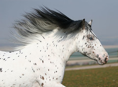 Dalmation Dude (funkymelody) Tags: horse cob gypsy colt stallion tinker feathered romany vanner notphotographedbyme gypsycob leopardappaloosa photosbycorinneeisele ghostwilliam