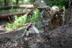 2011-06-04-11h01m17.272P3440 (A.J. Haverkamp) Tags: reindeer zoo thenetherlands rhenen dierentuin rendier rangifertarandus ouwehandsdierenparkrhenen httpwwwouwehandnl canonef100400mmf4556lisusmlens pobrhenenthenetherlands dob18052011