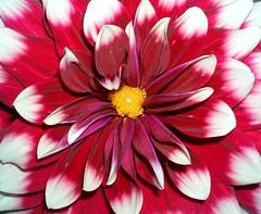 Edgey White (KAMorin) Tags: dahlia maroon excellence supershot impressedbeauty superbmasterpiece kamorin
