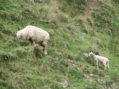 Ohariu Sheep (TELPortfolio) Tags: newzealand white colour sheep wellington ohariuvalley ohariu 10millionphotos jalalspagesanimalkingdom