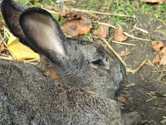 Rabbit (visionthing64) Tags: park rabbit bunny animal lancashire bolton mossbank