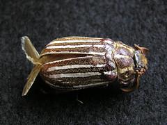 Ten-lined June Beetle (annkelliott) Tags: canada calgary nature insect beetle alberta tenlinedjunebeetle specnature annkelliott pa210014 talkaboutwildlifeca