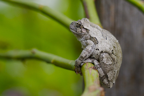 Tree Frog on Rose Branch
