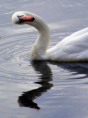 """Whos that?"" (kjlast) Tags: lake birds kent swan leybourne cotcmostfavorited theyaremine lmaoanimalphotoaward llovemypic pleasedontusethisimageonwebsites blogsorothermediawithoutmyexplicitpermissionthesephotosarentfree pleaserespectthatallrightsreserved"