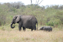 Kenya Masai Mara-388 Elephants (Tristan27) Tags: africa elephant kenya wildlife masaimara loxodontaafricana elephantsrhinosgiraffeshippos toaddtogroups
