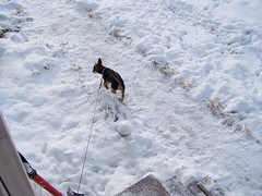 Frolicing in the snow (bonkrood) Tags: puppy jinx chorkie