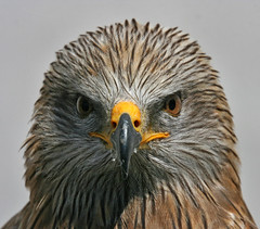 Black kite - Schwarzmilan (pe_ha45) Tags: bird animal aves blackkite oiseau birdsofprey greifvgel naturesfinest blueribbonwinner raubvgel flickrsbest golddragon animalkingdomelite mywinners abigfave superaplus aplusphoto superbmasterpiece avianexcellence schwarzmilan natureoutpost goldenart