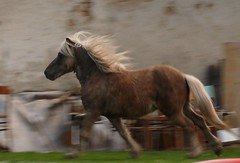 Gigi running (roseinthedark) Tags: horse motion action run pony lovely panning equine anawesomeshot happinessconservancy