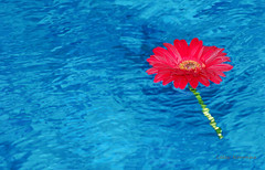 In the water (Leley) Tags: flower contrast searchthebest flor gerbera winner contraste d200 redflower leley blueribbonwinner 50faves florvermelha 25faves abigfave duetos cmeradeourobrasil colorphotoaward aplusphoto flowerinthepool theperfectphotographer flornapiscina superdueto