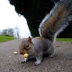 Nuts to Christmas (*Firefox) Tags: nature animal bristol fur geotagged squirrel good wildlife cureuil brandonhill cacahutes geo:lat=51454288 geo:lon=260724 alwyasprotectyournuts