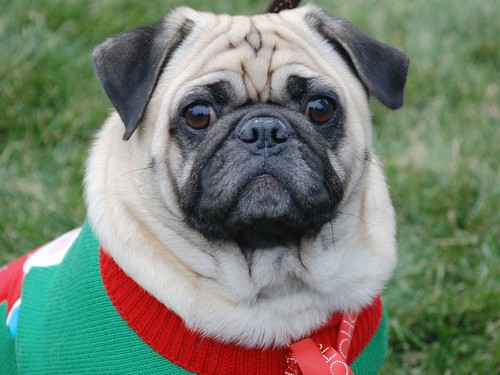Reindog 38: Cutest Pug ever.