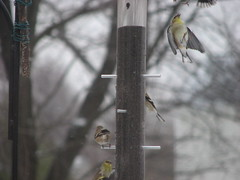 UPside down goldfinch