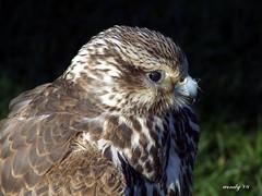 Saker Falcon (wendyforbes) Tags: ar1 ilovemypic brillianteyejewel treeofhonour