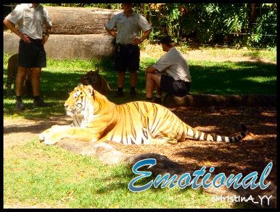 Tiger Presentation: Emotional