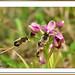 Mosques vermelles amb abelles - Orquídea avispa -  sawfly orchid -Ophrys tenthredinifera