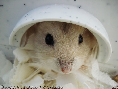 Harry In His Hamster House by AnimalLoversWeb.