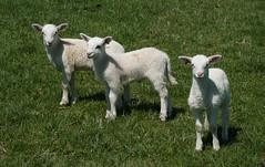 Katahdin lambs