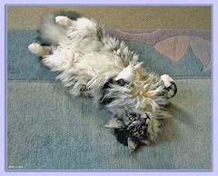 "Maxwell ""bauchfrei"" - belly (Jorbasa Mwa) Tags: pet macro smart animal cat germany deutschland hessen maine coon maxwell katze kater wetterau jorbasa"