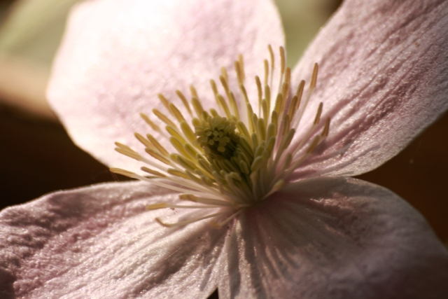 Pink Clematis in Daylight, ISO 100,photographedublin, Ireland, Flowers, Botany