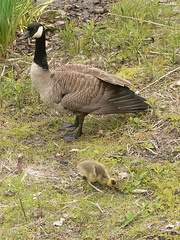 Goose and Baby