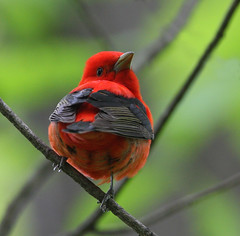 Scarlet Tanager (Hard-Rain) Tags: male bird illinois aves naperville scarlettanager piranga passeriformes pirangaolivacea dupageriver knockknolls explore329 thraupidae specanimal avianexcellence
