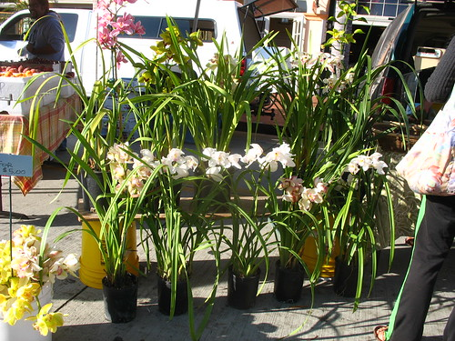 Cymbidium orchids for sale