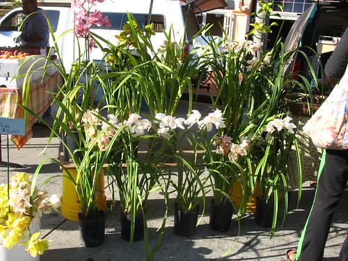 Cymbidium orchids for sale