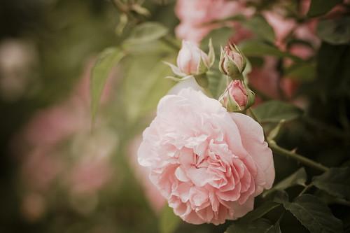 Rose : Masako
