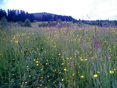 More Flowers (kellascat) Tags: flowers walking meadow romania bucovina putna