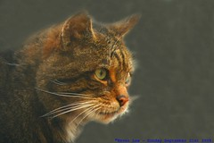 Happy Cataday...:O))) (law_keven) Tags: england cats animals kent furry dof bokeh kitty felines endangered furryfriday wildcat explore500 winghamwildlifepark photoexel
