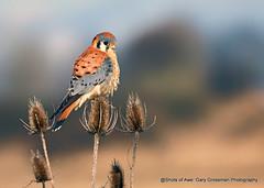Kestrel (Gary Grossman) Tags: kestrel kestrelhawk sparrowhawk hawk raptor meadow thistles nationalwildliferefuge ridgefield pacificnorthwest washington winter male garygrossmanphotography