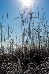 winterreed (Mange J) Tags: 50mmf17 k3ii magnusjakobsson pentax sverige sweden värmland blue clear cold freezing frost ice pentaxart sky winter värmlandslän se