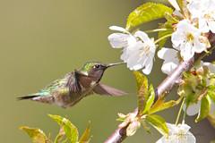 _53F2854 Ruby-throated Hummingbird on cherry blossom (~ Michaela Sagatova ~) Tags: bird nature dundas bif rubythroatedhummingbird birdinflight archilochuscolubris birdphotography dvca michaelasagatova