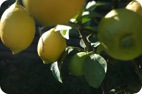 Lemon tree by alittleredribbon