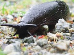 The Charging Slug (Geoffery Kehrig) Tags: canada nature britishcolumbia trails slug slimy portcoquitlam naturewalk blackslug bigslug vancouverlowermainland geofferykehrig