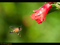 Busy Bee !!! (Masood Hussain) Tags: macro nikon bee honey micro honeybee 105mm d300s flickraward5